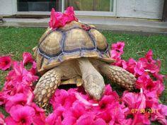 yummy flowers - sulcata tortoise