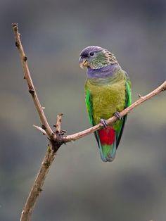 Foto maitaca-verde (Pionus maximiliani) por Sergio Gregorio | Wiki Aves - A Enciclopédia das Aves do Brasil