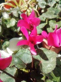 Cyclamen in my garden