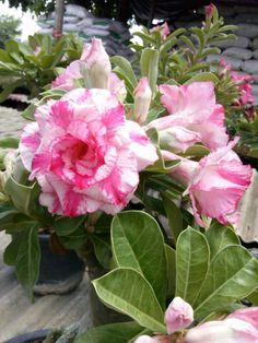 DESERT ROSE(Adenium Obesum)