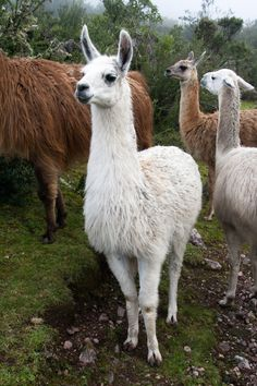 Who's a sexy llama? | This one refused o move. I started tak… | Flickr