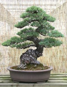Bonsai styles are different ways of training your bonsai to grow the way you want it to. Get acquainted with these styles which are the basis of bonsai art. Flowering Bonsai Tree, Bonsai Trees For Sale, Bonsai Tree Care, Bonsai Tree Types, Indoor Bonsai Tree, Bonsai Plants, Bonsai Garden, Potted Plants, Succulents Garden