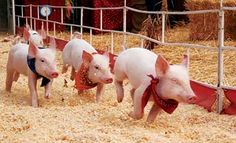 Live pig races and more fun at the pumpkin patch at Lyon Family Farm in Taft, Tennessee, just north of Huntsville, Alabama #lyonfamilyfarms