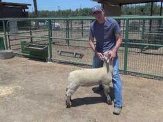 Sheep & Goat Showmanship The 4 Step Process