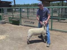 Sheep & Goat Showmanship The 4 Step Process