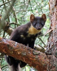 Pine martens to the rescue? How martens could be tackling the Eastern grey squirrel -