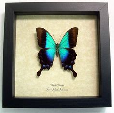 Wedding Gift Real Framed Rare Blue Glosswing by REALBUTTERFLYGIFTS