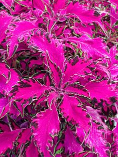 'Pink Chaos' Coleus-Coleus Plant Is A Fast-Growing, Hanging Houseplant That Comes In Over 100 Different Leaf Colors, Textures, Shapes, and Designs. Tips For Growing Coleus Plants: Shade Garden Plants, Garden Shrubs, Landscaping Plants, Lawn And Garden, House Plants, Exotic Flowers, Beautiful Flowers, Coleus, Orquideas Cymbidium