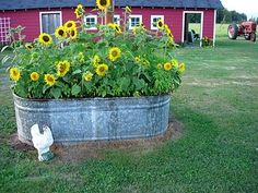 sunflowers in a water trough - I really want to do this! I've already planted my strawberries in an old trough.