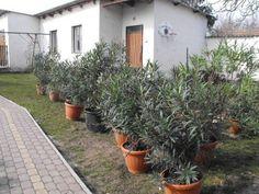 Leander metszése – Nőknek kertről. Patio, Outdoor Decor, Flowers, Gardening, Sneaker, Vans, Plant, Slippers, Terrace