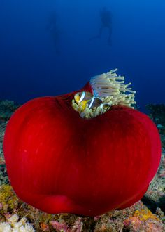 Mauritian Clownfish (Amphiprion chrysogaster) and sea anemone - Reunion Island