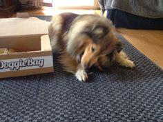 Tanja - DoggieBag.no #DoggieBag #Hund #ShetlandSheepdog