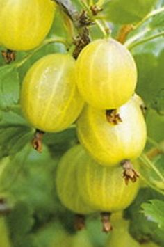 permaculture Gooseberry | Temperate Climate Permaculture: Permaculture Plants: Gooseberries