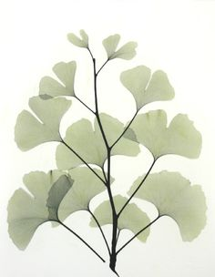 ginko-l183-color