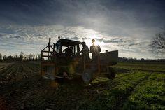 Macchinari agricoli atti alla raccolta del Radicchio Rosso di Treviso tardivo IGP