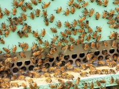 Bee experts warn that novices may be inadvertently putting their hives in danger by not keeping the mite population in check.