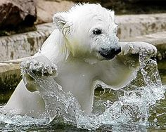 "Polar Bear cub in water,  ""Splish - splash I was taking a bath, long about a Saturday night..."""