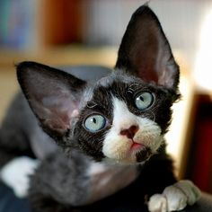 figa #Devon_Rex #cat ...........click here to find out more http://googydog.com