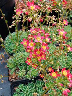 "Saxifraga paniculata 'Rosea'  Junkersildre – Saxifraga paniculata ""Rosea""  Hardfør steinbedsplante som blomstrer med rosa blomster midt på sommeren. Tåler skygge"