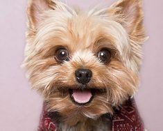 Yorkshire Terrier #Yorkie Dog #yorkshireterrier