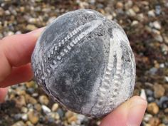Echinocorys echinoid fossil -- the outer 'test' layer has been largely worn away, leaving the internal flint mould. Found at Littlehampton beach