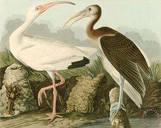 White ibis painting john james audubon white ibis art print john