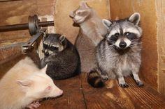 From left: Mikey (albino), Little Bits (formerly abused and miniature from malnutrition), Lucas (blonde raccoon) and Sparky ( electrocuton survivor).These raccoons all contribute to our education program, showing genetic diversity and incredible survival ability of these amazing animals. Their stories have impacted so many people. It is our hope that the hardest of hearts will no longer see a nuisance or road kill, but will see an integral player in the wildlife that share world.