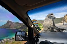 Watch out for these guys. The baboons of the Western Cape are acclimated enough to humans that they& leap into open cars and steal bags hunting for food. This is true been there. South Africa Holidays, Big 5, Baboon, My Land, Africa Travel, Cape Town, Continents, Beautiful World, Safari
