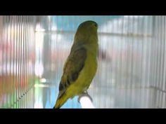 ハツハナインコ雌 初花鸚哥 Black-winged Lovebird / Abyssinan Lovebird Love Birds, Parrot, Animals, Parrot Bird, Animales, Animaux, Animal, Animais, Parrots
