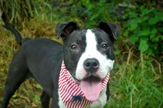 •((URGENT))•BEAUTIFUL 11 MONTH BABY GIRL TO BE DESTROYED 7/25/14~~ •PUPPY ALERT• Staten Island Center -P  My name is CONNIE. My ID# is A1005473. I am a female black and white staffordshire mix. The shelter thinks I am about 11 MONTHS old.  I came in the shelter as a STRAY on 07/03/2014 from NY 10304, owner surrender reason stated was STRAY.