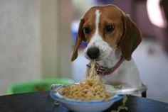 Beagles like pasta!