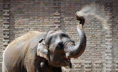 #elephant Un elefant îşi aruncă cu nisip pe spate, în grădina zoologică din Berlin, miercuri, 24 iulie 2013. (  Daniel Reinhardt / DPA / AFP  ) - See more at: http://zoom.mediafax.ro/nature/animale-in-jurul-lumii-11306168#sthash.Fry8eZqd.dpuf