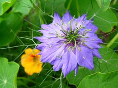 Nigella damascena (Love in a mist), self sown, extra large flowers on this plant? and a real true blue :)