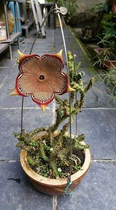 stapelia, cactus care, how to care for carrion cactus, how to carrion cactus … - Blumen Weird Plants, Trees To Plant, Unusual Flowers, Cactus Plants, Carnivorous Plants, Unusual Plants, Succulents, Plants, Rare Flowers