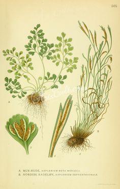 asplenium ruta muraria, asplenium septentrionale   ...