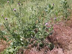 other thistles Oregon State University, Milk Thistle, Weed, Blessed, Thistles, Plants, Flowers, Image
