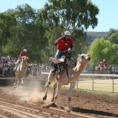 Camel Cup - The Camel Cup is an annual camel racing festival held in Australia. The race usually takes place at Blatherskite Park in the town Alice Springs, Northern Territory. The event is organised by the Alice Springs Lions Club and Apex Club of Central Australia.