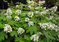 Oakleaf Hydrangea (H. quercifolia) - By Anne Norman (oakleaf hydrangea) [CC BY 2.0], via Wikimedia Commons | Why are my Hydrangeas not blooming? | Having trouble with your hydrangeas not blooming? Find out how to fix the problems so that you can grow these beautiful flowers in your garden.