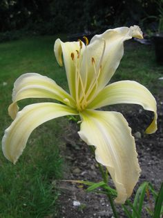 The very beautiful late blooming spidery, Suzy Cream Cheese Daylily Garden, Oriental Lily, Day Lilies, Suzy, Orchids, Bloom, Cheese, Cream, Yellow