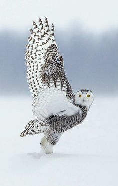 Superb Nature - beautiful-wildlife: Snowy Owl by Prince Beautiful Owl, Animals Beautiful, Cute Animals, Funny Animals, Beautiful Pictures, Pretty Birds, Love Birds, Owl Bird, Tier Fotos