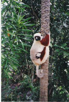 Cocquerel Sifaka + baby Propithecus coquereli, in their natural zobomazu