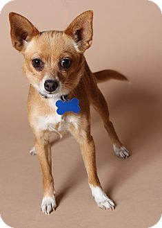 Gilbert, AZ - Chihuahua Mix. Meet Tawnie a Dog for Adoption.