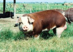 Hereford Pigs | Hereford Pig