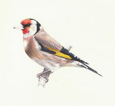 Goldfinch by Ian Reed