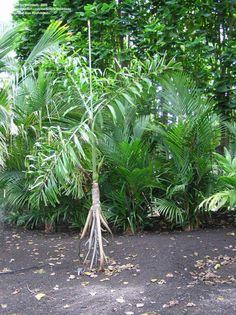 Socratea exorrhiza  Loài cây kỳ lạ có thể đi bộ 20 mét mỗi năm?  Đã có rất nhiều câu chuyện về loài cây socratea exorrhiza có khả năng mọc rễ mới để di chuyển sang bên cạnh tìm kiếm vùng đất tốt hơn. Thậm chí phóng viên của BBCcòn nói rằngloài cây này có thể đi bộ 20 mét mỗi năm.  Giống cọ này có phần rễ và gốc nổi hẳn lên mặt đất khiến chúng trông như một sinh vật có chân.  Socratea exorrhizalà loại cọ sống trong các khu rừng nhiệt đới ở các nước trung và nam châu Mỹ như Ecuador. Chúng được…