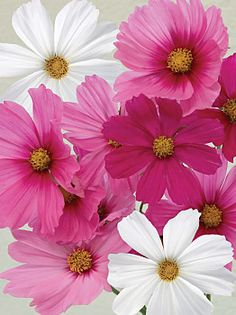 Cosmos Sonata Mix. Bright pink, red, rose and white Sensation type flowers. This new dwarf Cosmos is absolutely the best for windy areas or containers. As with other Cosmos, darker colors can be recognized at the seedling stage by their darker stem color. Ht:18-24 inches