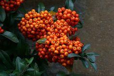 ^Autumn Berries