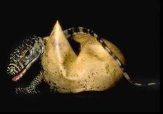 Komodo Dragon hatching