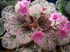 Lovely large growing standard violet highly variegated in pink. One of my favorite hybrids by Winston Smith in his Wrangler