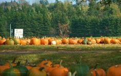 Today we spent some time just outside of Charlottetown picking out this year's pumpkins! We purchase our pumpkins at the same farm every year and this year was especially nice with lovely autumn weather and plenty ofprettypumpkins to choose from!